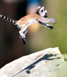 leaping_lemur