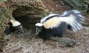 """Striped Skunk"" by http://www.birdphotos.com - Own work. Licensed under CC BY 3.0 via Wikimedia Commons - https://commons.wikimedia.org/wiki/File:Striped_Skunk.jpg#/media/File:Striped_Skunk.jpg"