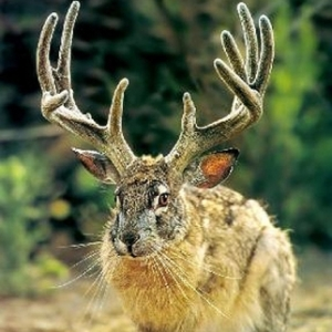 A rare sighting of a jackalope.